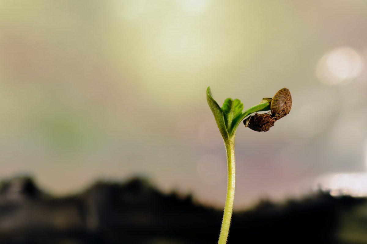 Consejos para Plantar Marihuana de Exterior